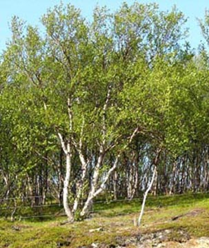 Sapmi Birches